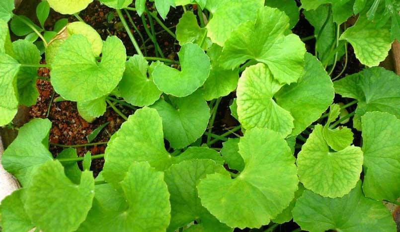Centella Asiatica Gotu Kola plant benefits