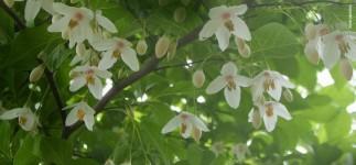 Benzoin Tree