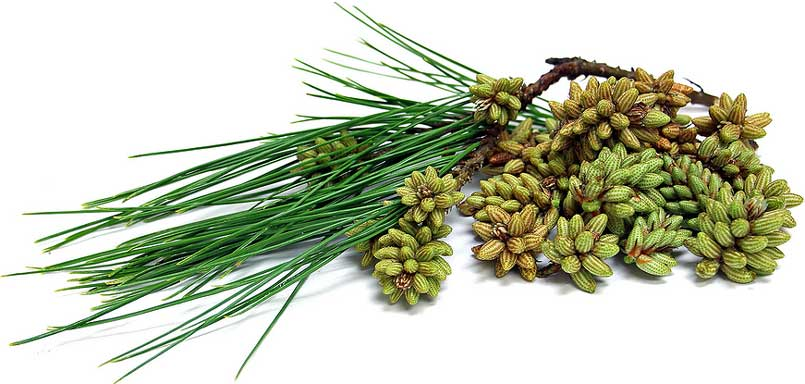 pine pollen health benefits