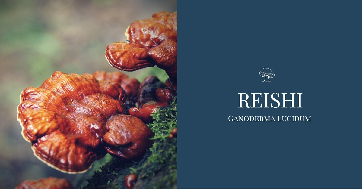 reishi mushroom lingzhi Ganoderma Lucidum