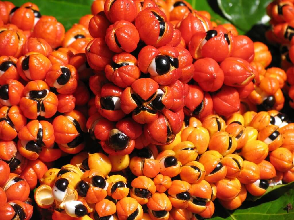 Guarana Energy of the Amazon