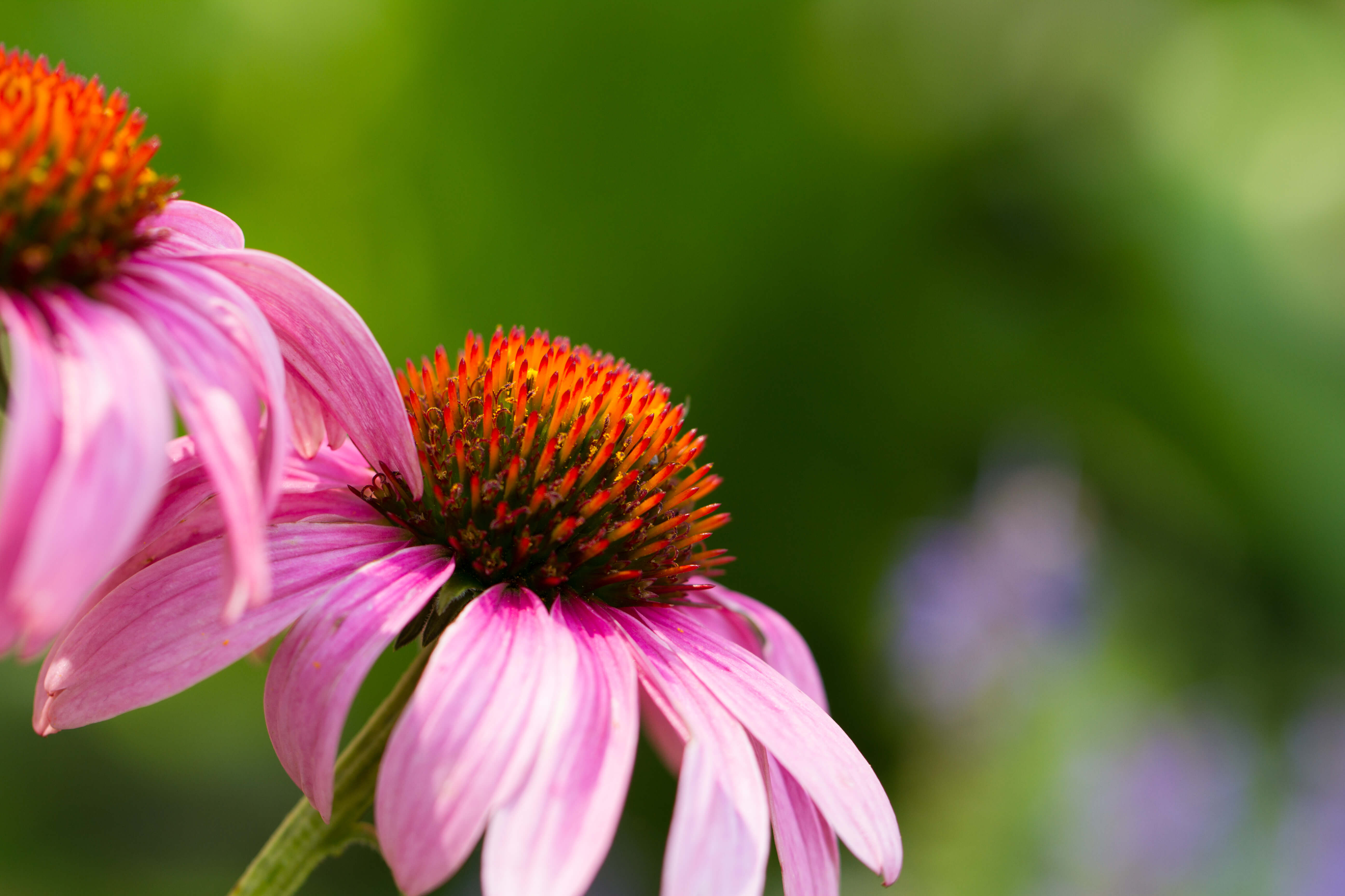 Echinacea tincture. Properties and application 75