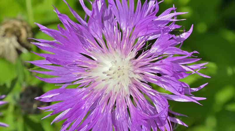 Maral Root Medicinal Herb (rhaponticum Carthamoides)