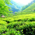 matcha-tea-field