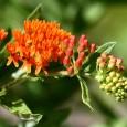 Pleurisy Plant