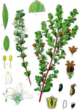 Agathosma betulina (Buchu Plant)
