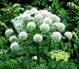 The Herbal Uses of Angelica