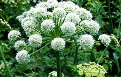 angelica-flower