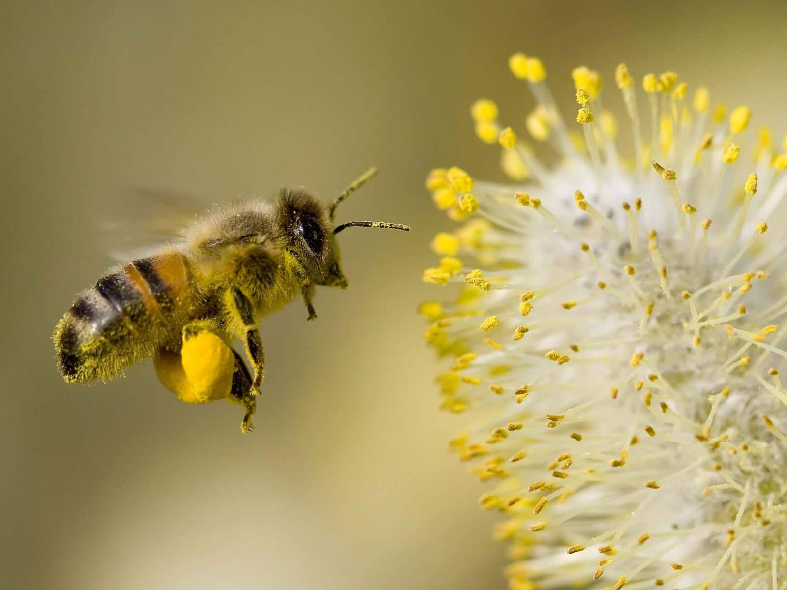 Pollen honey