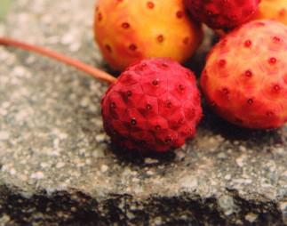 Astringing the essence with dogwood fruit