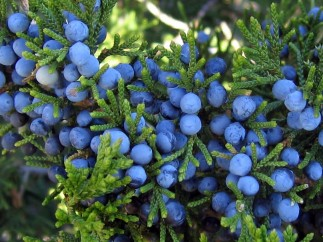 Juniper Berry: Top Health Benefits [2018 List]