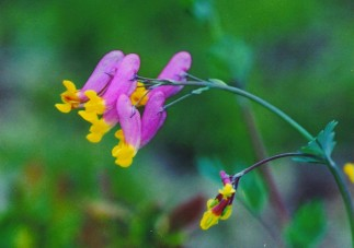 Corydalis: Top 5 Health Benefits (Updated For 2018)