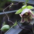 Codonopsis_lanceolata_DSCN9077