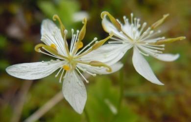 Coptis trifolia, (syn. Coptis groenlandica)_Threeleaf Goldthread, Canker-root, Savoyane_blossom_1_NH_20110626_Beth Zimmer_Gold Thread 01