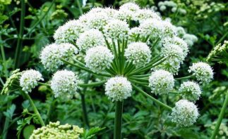 Angelica Root Herbal and Medicinal Uses and Benefits