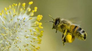 bee pollen side effects