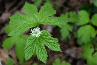 Benefits and Uses of Goldenseal Root