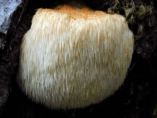 The Role of Lion's Mane Mushroom in the Medical World