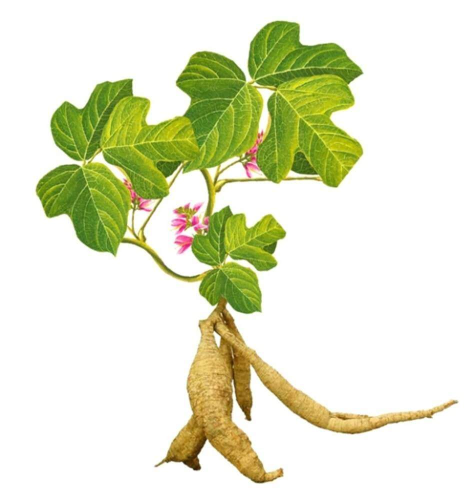 The Medicinal Value Of Kudzu Root