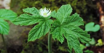 Goldenseal Root (yellowroot)