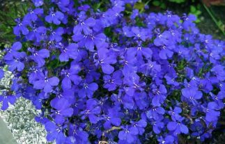 lobelia benefits