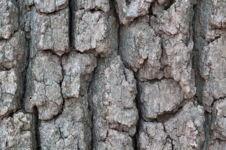 White Oak Bark: Health Benefits and Uses [2019 Update]