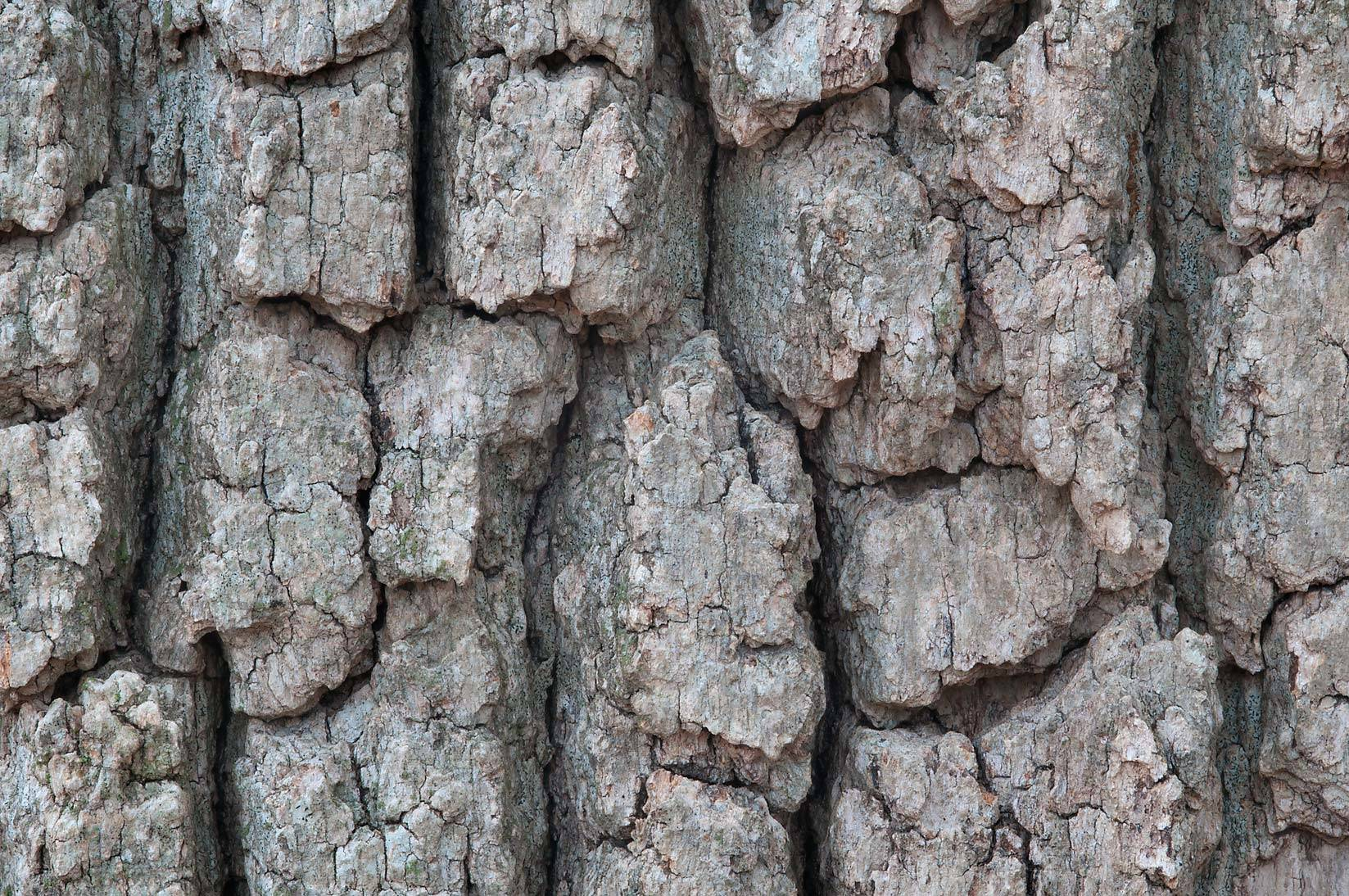 Benefits and uses of white oak bark