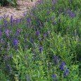 Baikal Scullcap bed at Clearpath Herbal gardens - just sc