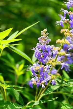 Chasteberry Plant