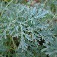 artemisia-powis-castle-wormwood