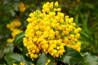 Herbal Analysis: Oregon Grape Root