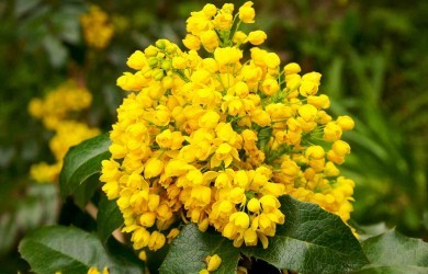 flower Oregon grape