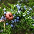juniper_berries-1920x1200 (1)
