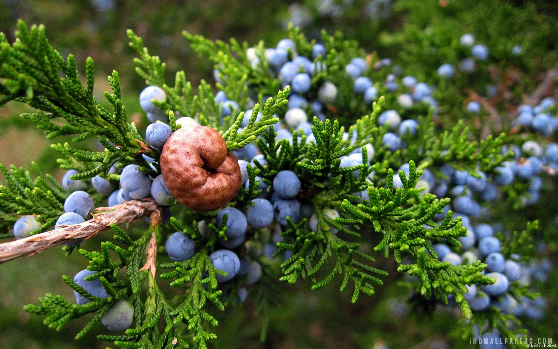 A Juniper Berry Is Seed Cone With Unusually Plump And Merged Scales There Are Actually Several Diffe Species Of Plants Which Includes The