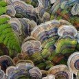 turkey-tail-fungus_85296_990x742