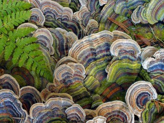 Turkey Tail Mushroom for a Stronger Immune this Winter Season