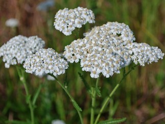 More than Just a Legend: Yarrow's Health Benefits