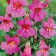 Rehmannia-flowers
