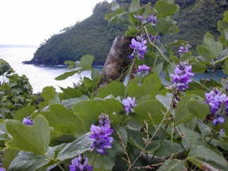 Pueraria – Nature's Fountain of Youth