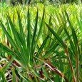 saw-palmetto2_381320057552cea634b9fe