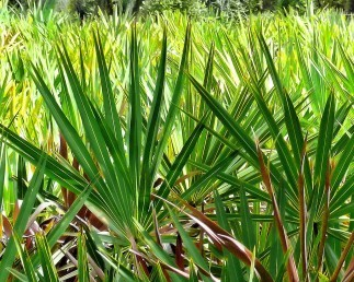 Saw Palmetto – Made for Men
