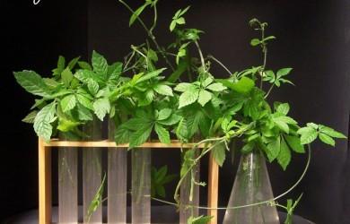 jiaogulan-plants