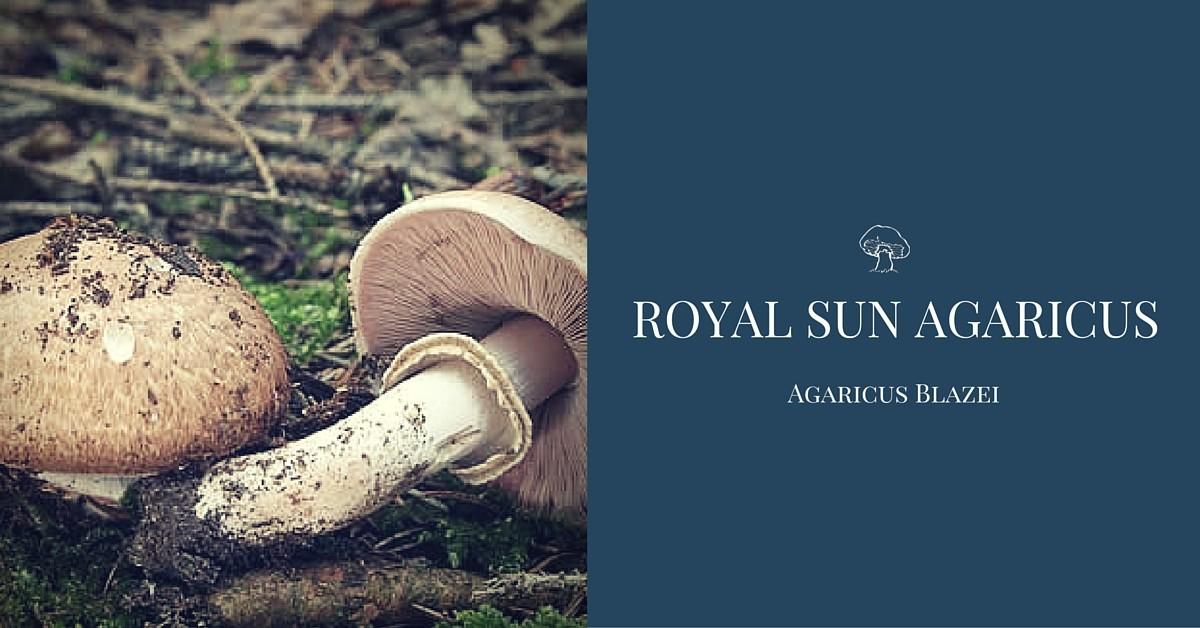 Royal Sun Agaricus Blazei