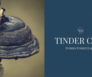 Tinder conk mushroom