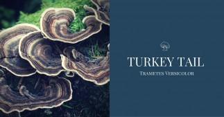 Turkey Tail Mushroom, Trametes Versicolor