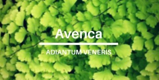 Avenca Leaf: Health Benefits of Adiantum Veneris Plant (2020 Updates)
