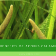 Acorus-calamus