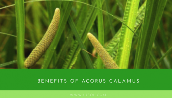 benefits of calamus root