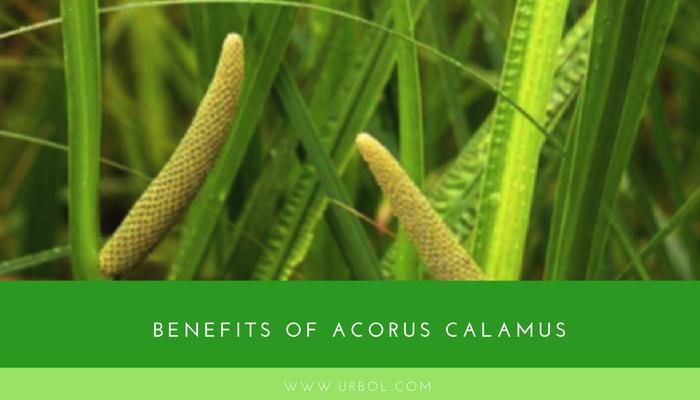 benefits of calamus root