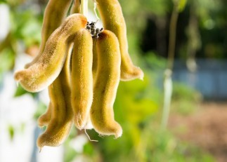 Mucuna Pruriens: Health Benefits, Risks [Latest 2018 Research]